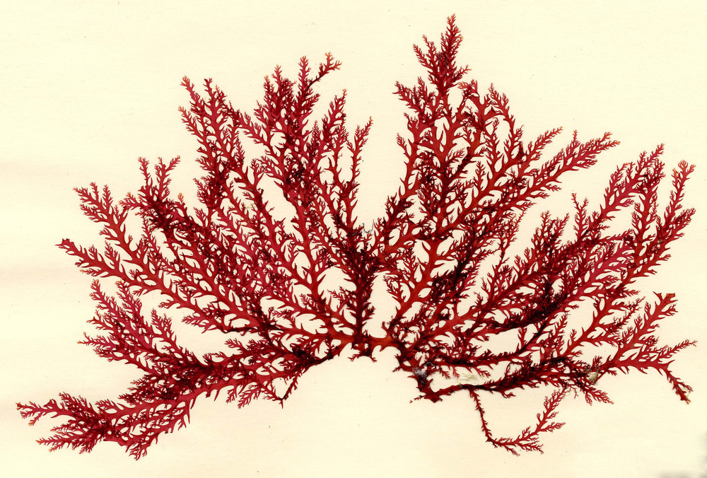 Carrageenan is derived from seaweed