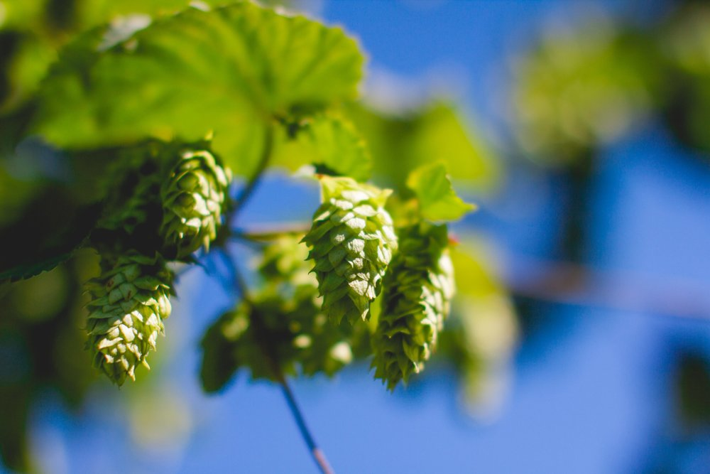 Pleasant Valley Cascade Hops. Photo: Noah Redka