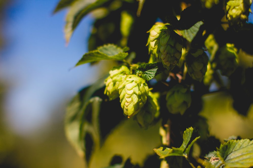 Pleasant Valley Centennial Hops. Photo: Noah Redka