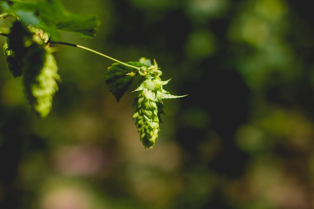 Pleasant Valley Cluster Hops. Photo credit: Noah Redka