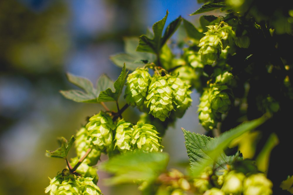 Pleasant Valley Wild Loyalist Hops. Photo: Noah Redka