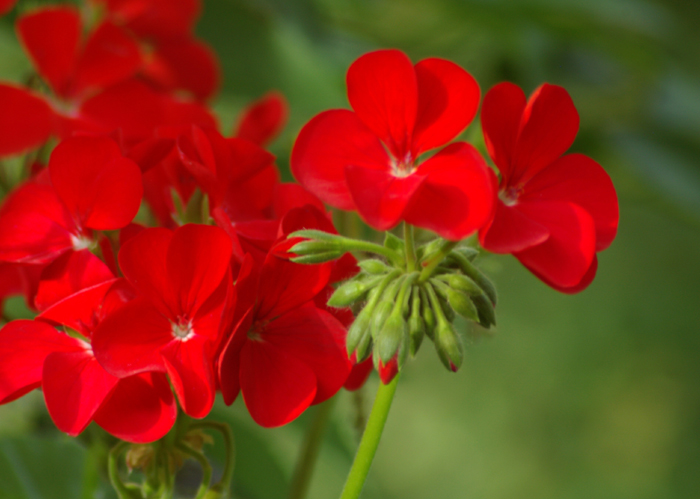 red-geraniums.jpg