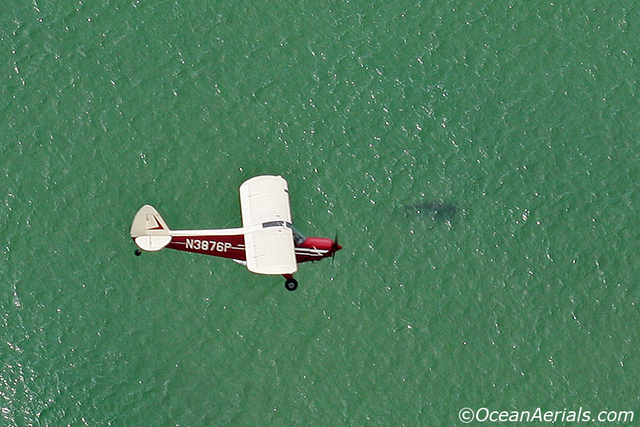 Our spotter pilot George over a Great White.   Photo by Wayne Davis.