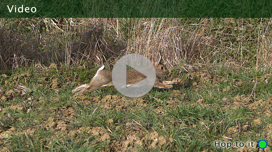 High-speed (slow-motion) footage of a European rabbit (Oryctolagus cuniculus) running through a meadow.     Images © Science Source