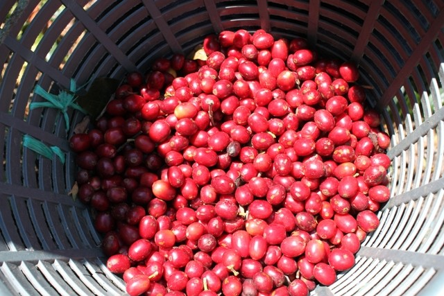 el injerto coffee cherries
