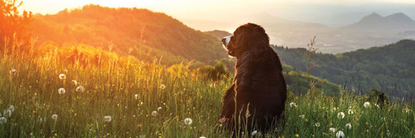 Dog in field watching sunset