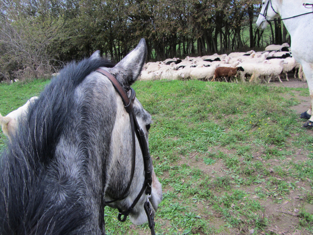 horse-and-sheep.jpg