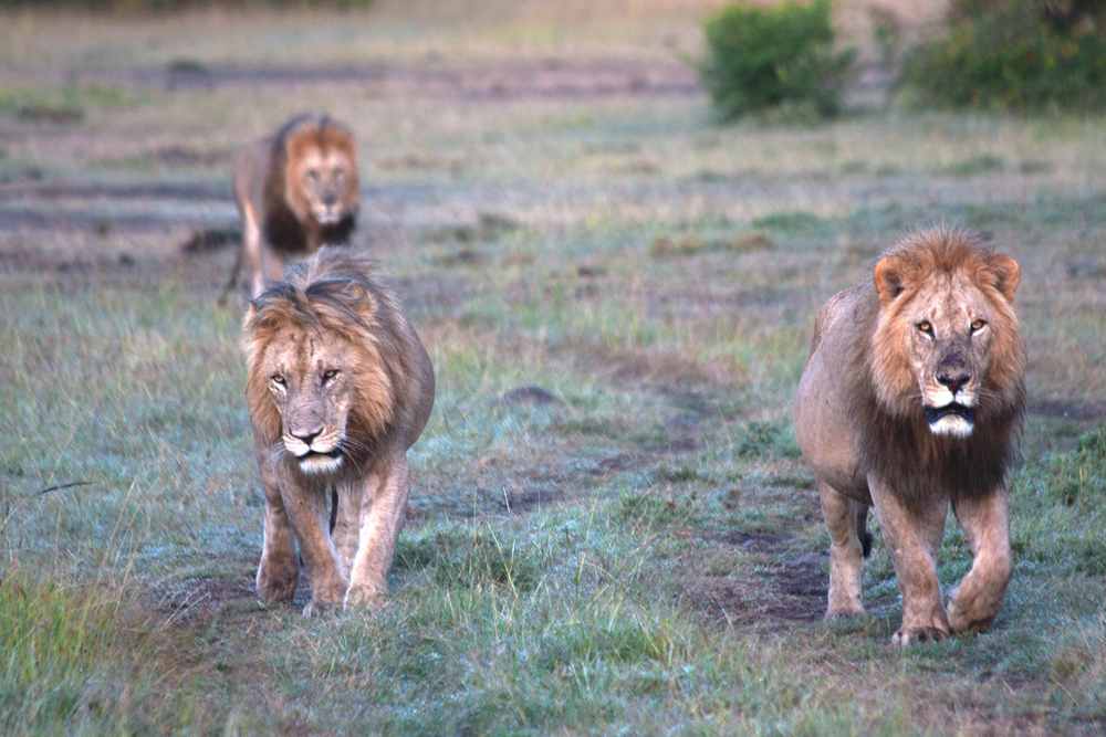 mara lion brothers walking