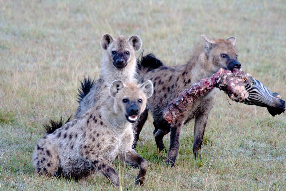 Mara zebra kill 3 hyenas