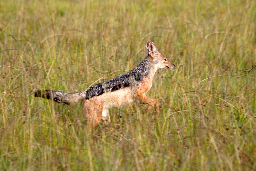 Mara zebra kill jackal