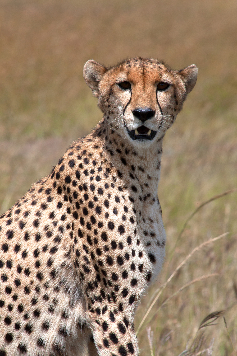 Mara cheetah looking at camera