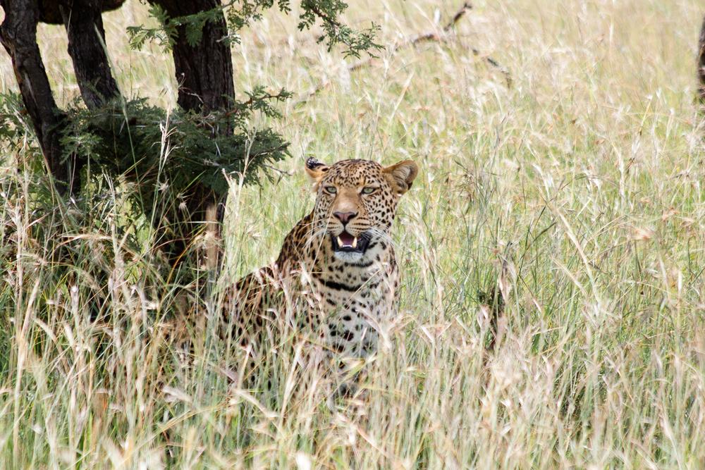 Mara leopard sitting