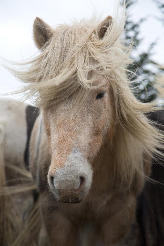 Blondie is an Ishestar horse
