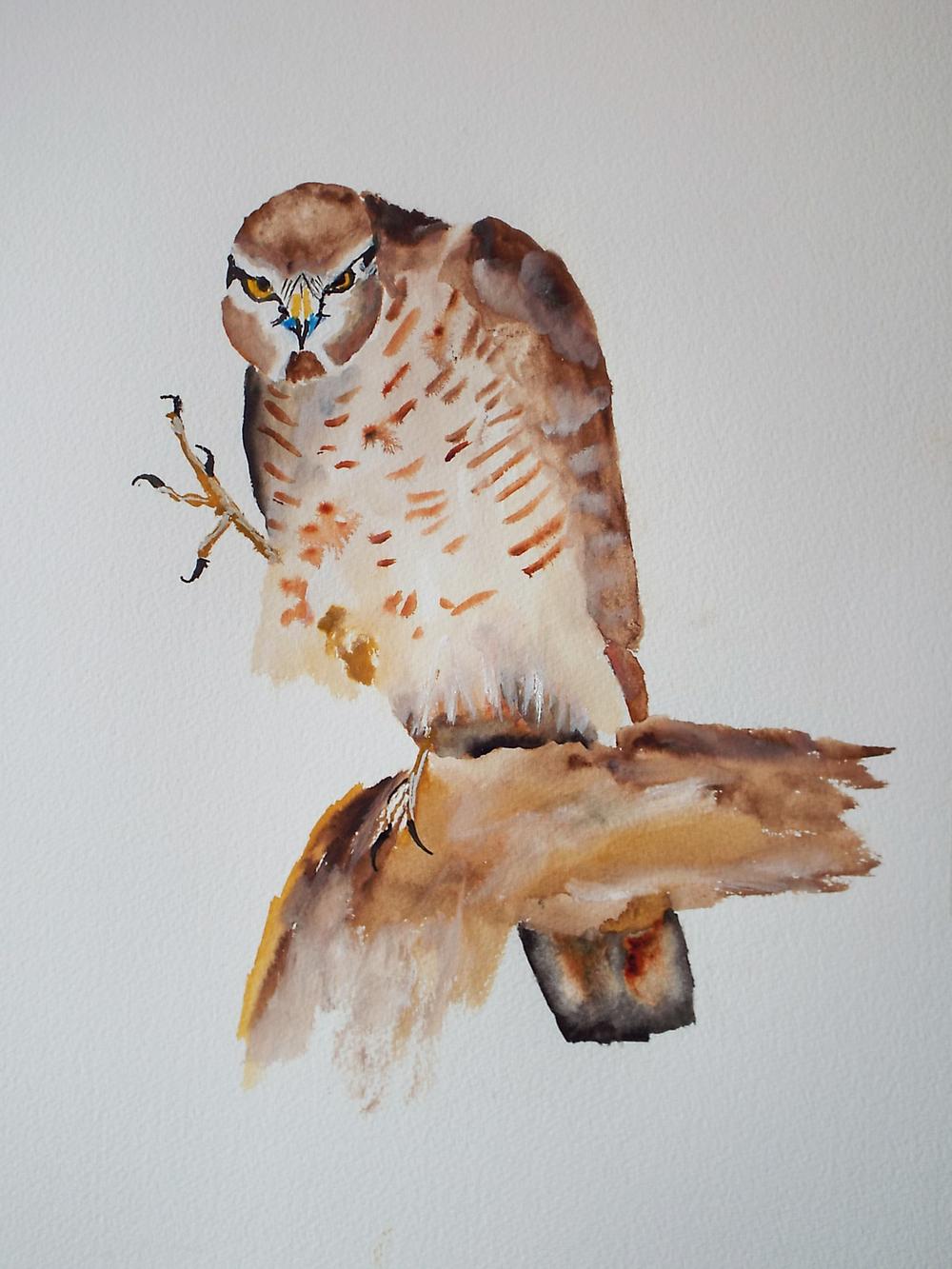 Angry Sparrow Hawk