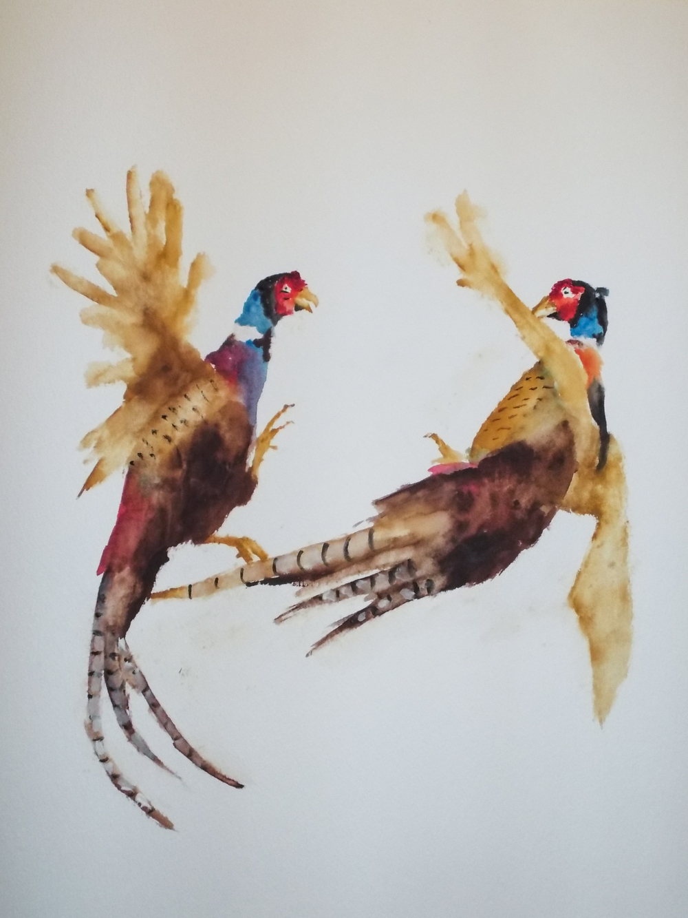 Pheasants Fighting Study