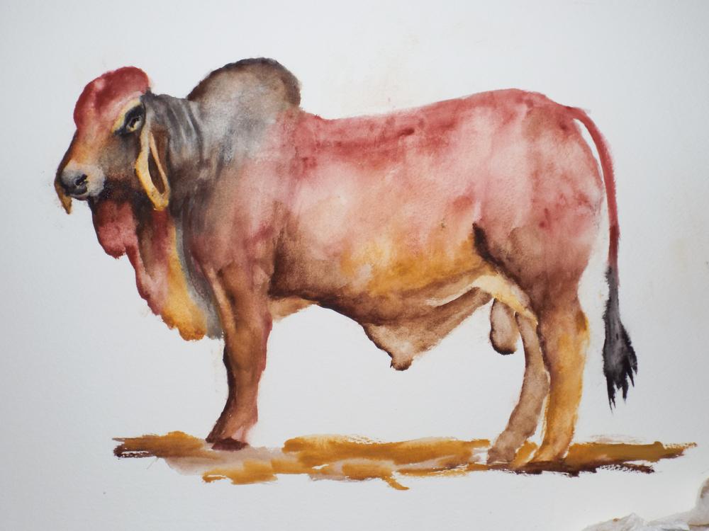 Red Brahman Bull