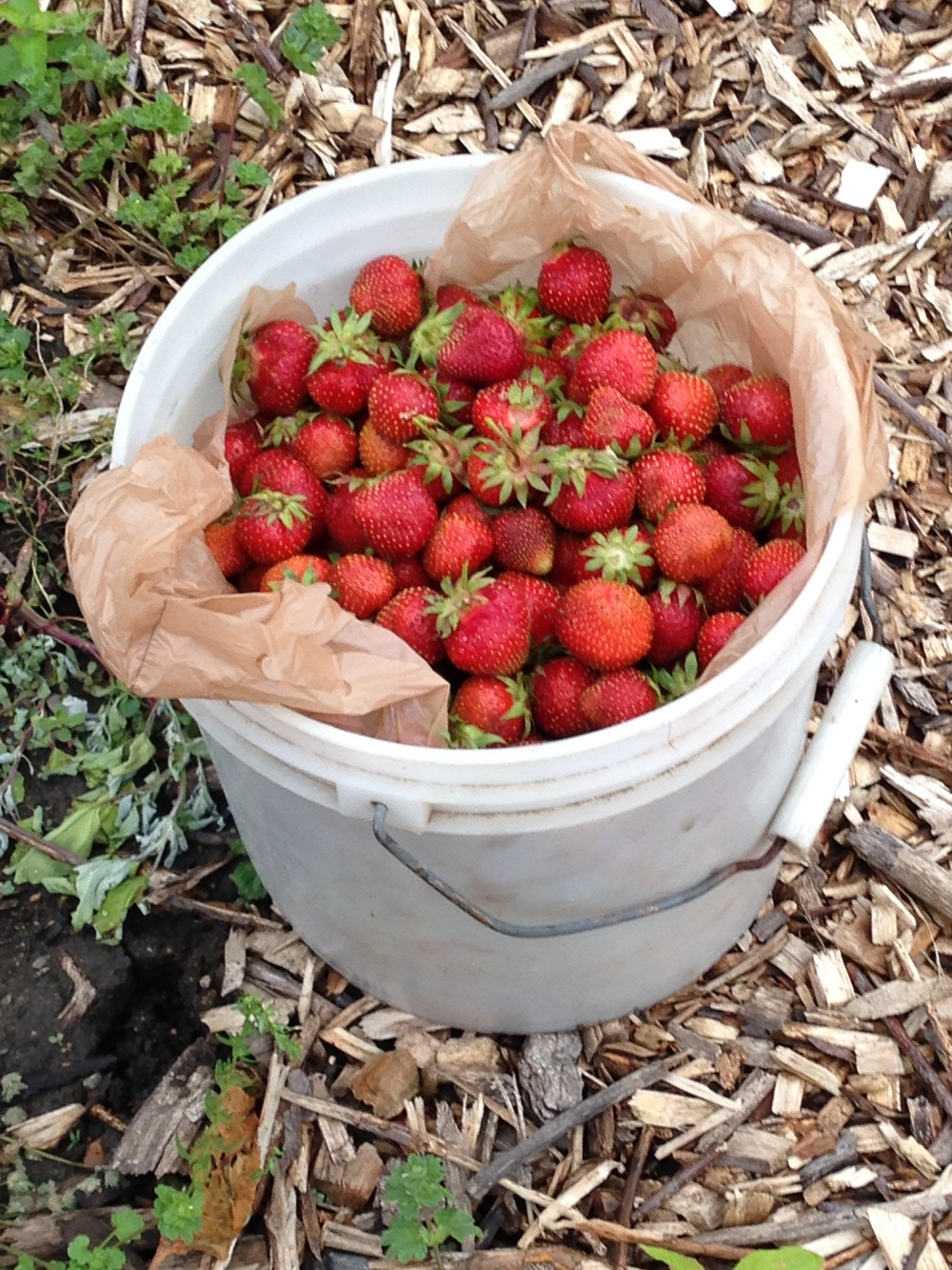 strawberries to food pantry.jpg