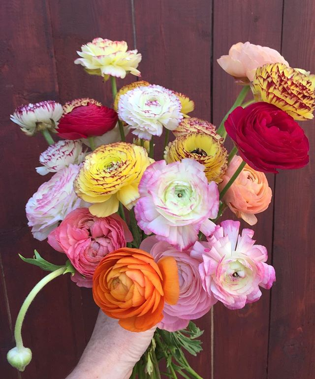 Seriously spectacular collection of assorted #colorful #ranunculus!