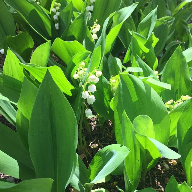 One of the best parts of spring is seeing what develops & blooms from week to week!  This weekend #lilyofthevalley has taken hold. Come see what's blooming at @weatherlow_florals next Saturday at the  FIELD TO VASE WORKSHOP ~  2-4 PM.  Tour the greenhouses, growing fields and make your own arrangement with fresh cut blooms! A perfect way to celebrate Mother's Day or treat yourself.  Register in the link above. #locallygrown #fieldtovase #mothersday