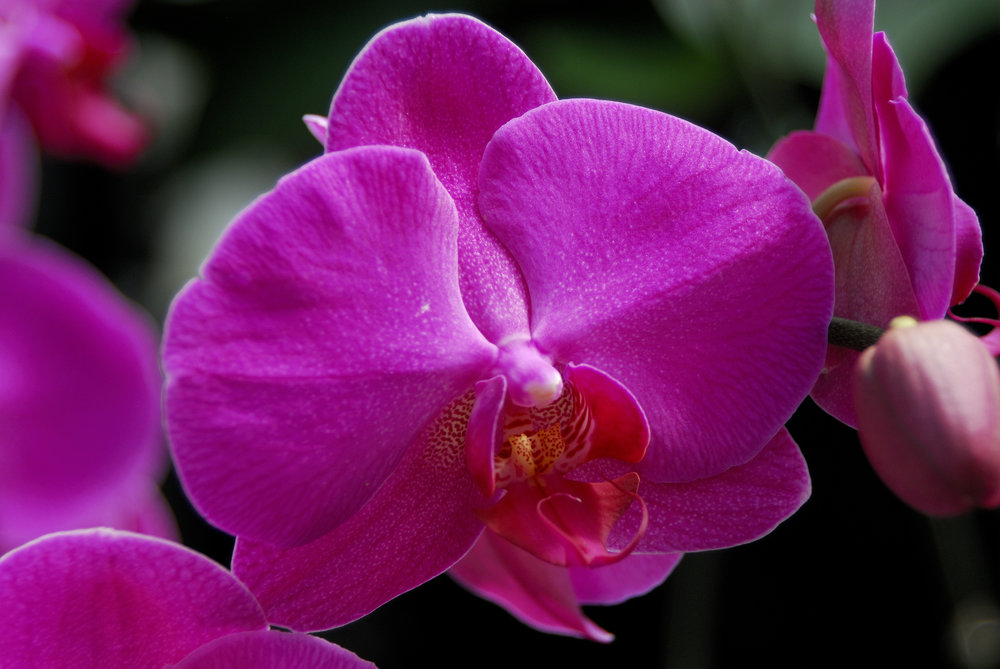 the-pink-orchid.jpg