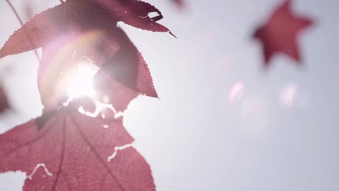 Sunlight poking through the pink maple leaves - Angus Stone Guiness Arthur's Day Film production Toby heslop