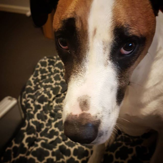 How could I ever be mad at that face? 😢🐶❤ #dogsofinstagram #dogsofinsta #bullarab #bullarabx #doggy #🐶 #❤