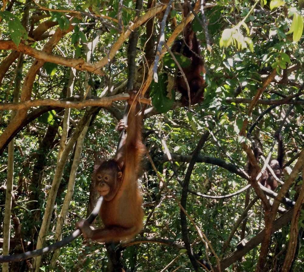 http://www.internationalanimalrescue.org/orangutan-sanctuary