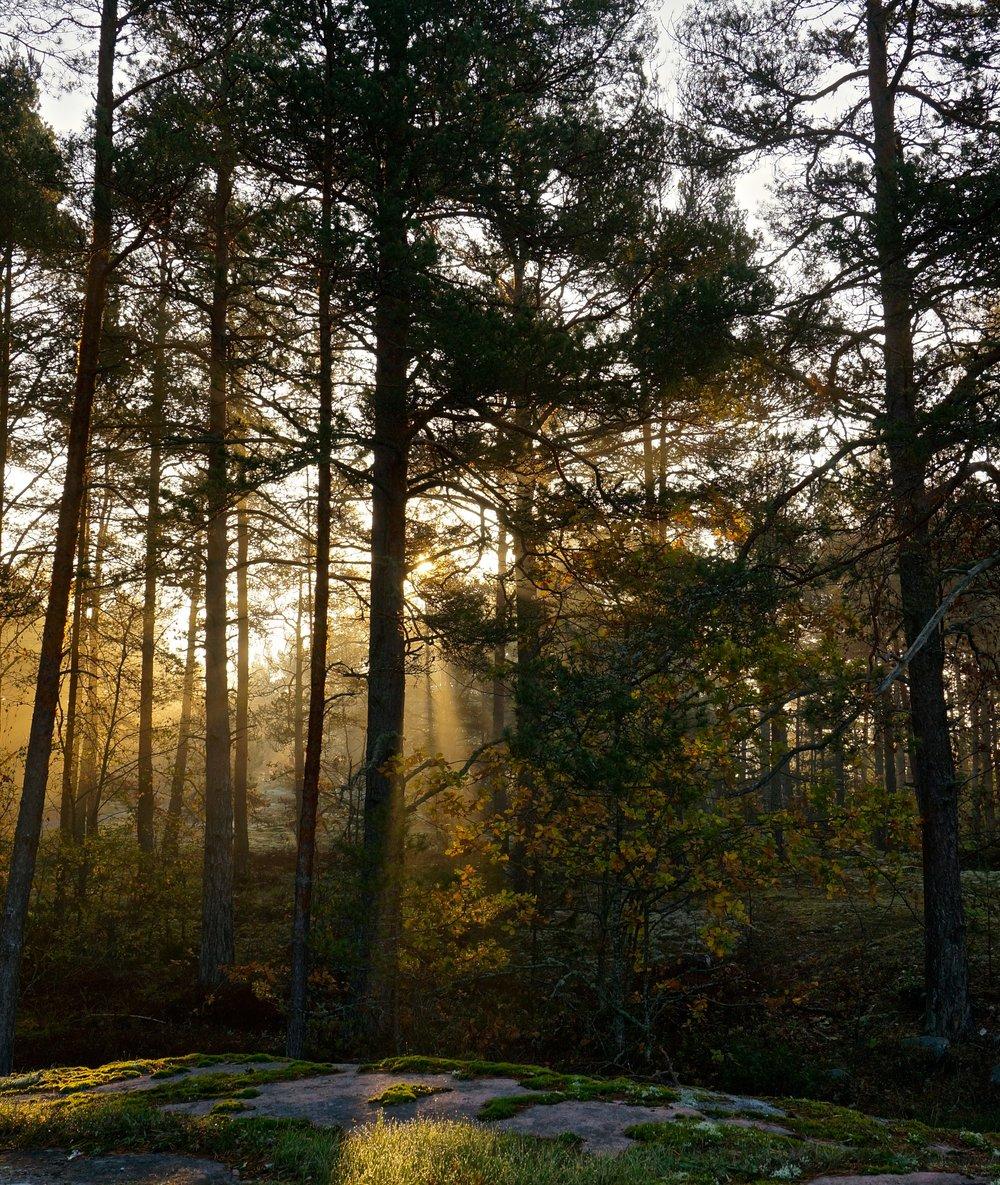 Solstrålar genom träden.jpg