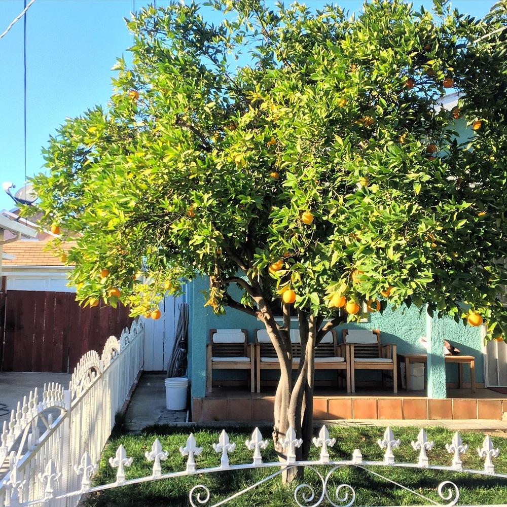 Citrus tree in San Jose.