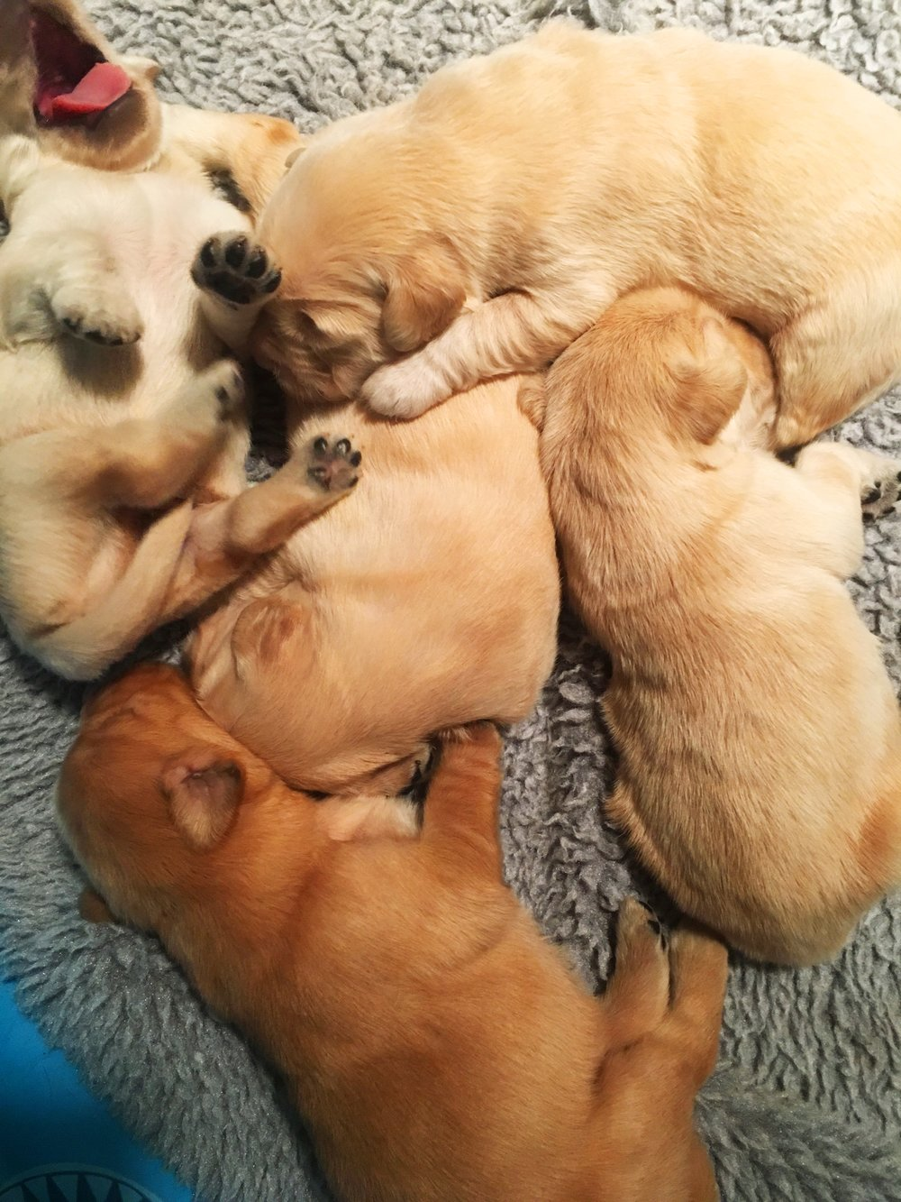 Visiting a cute pile of puppies!