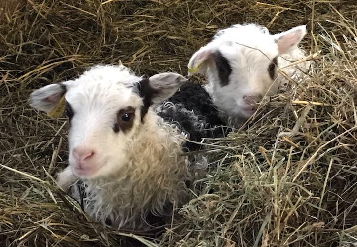first lambs.jpg