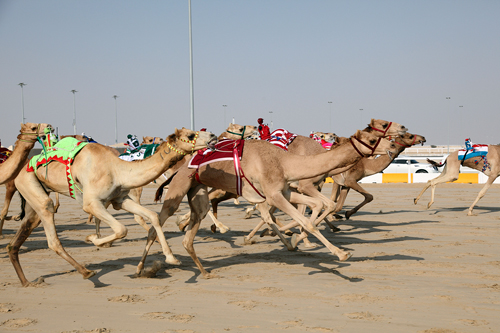 racing-camels-bsp-29343083-500x333.jpg