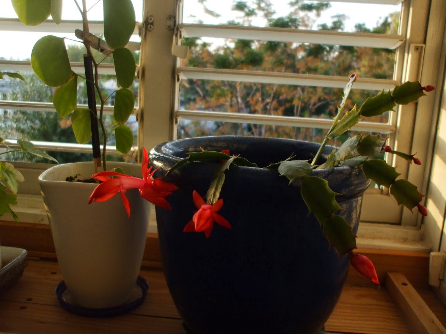 christmas cactus a multitude of blooms with little care - How To Take Care Of Christmas Cactus