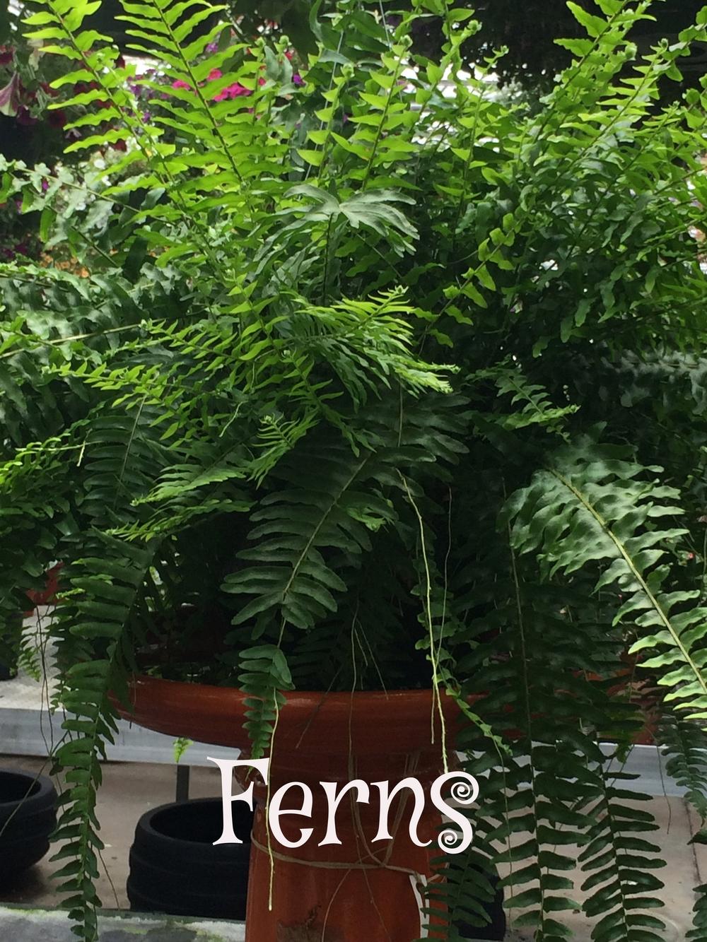 House Ferns