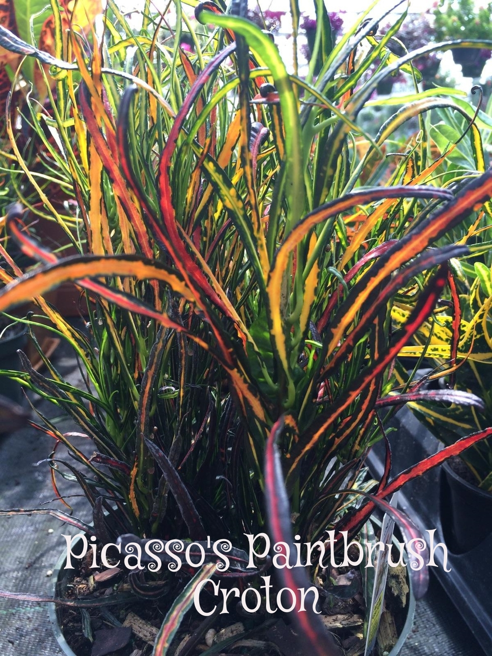 Picasso's Paintbrush Croton