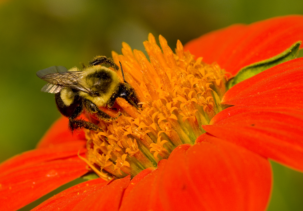 Find out what you can do to save our pollinators