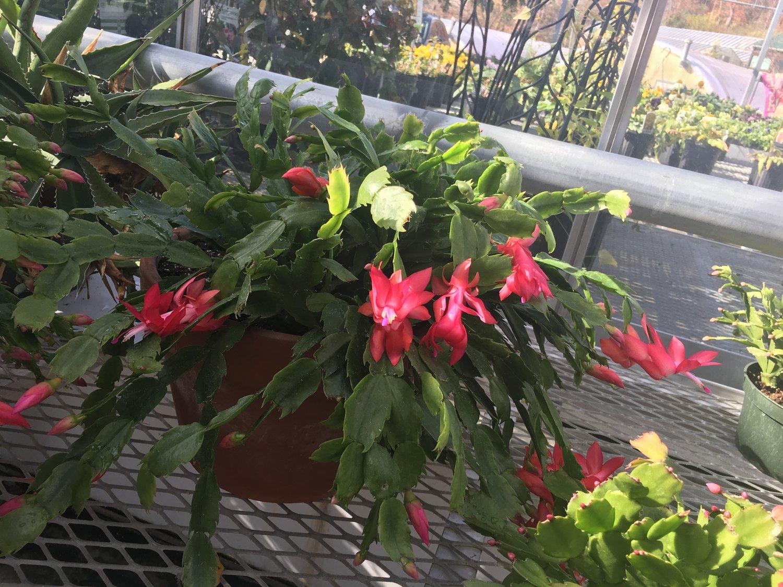 Christmas Cacti.Christmas Cacti Easy To Grow All Year Long Stanley S