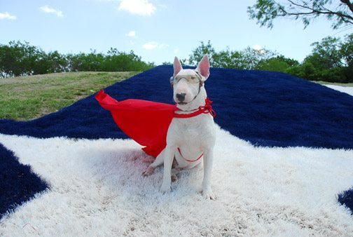Tugg The Bull Terrier