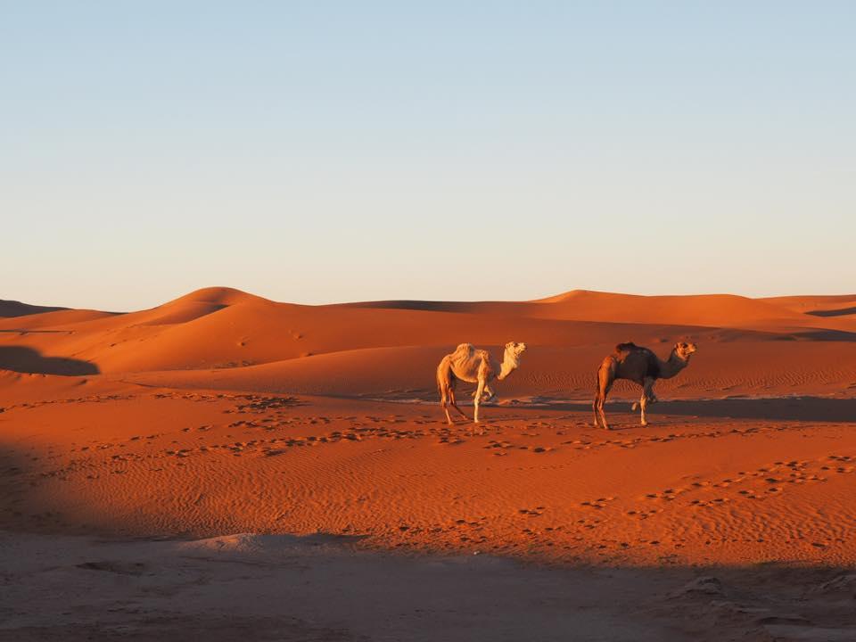 Sahara Desert Hike Camels