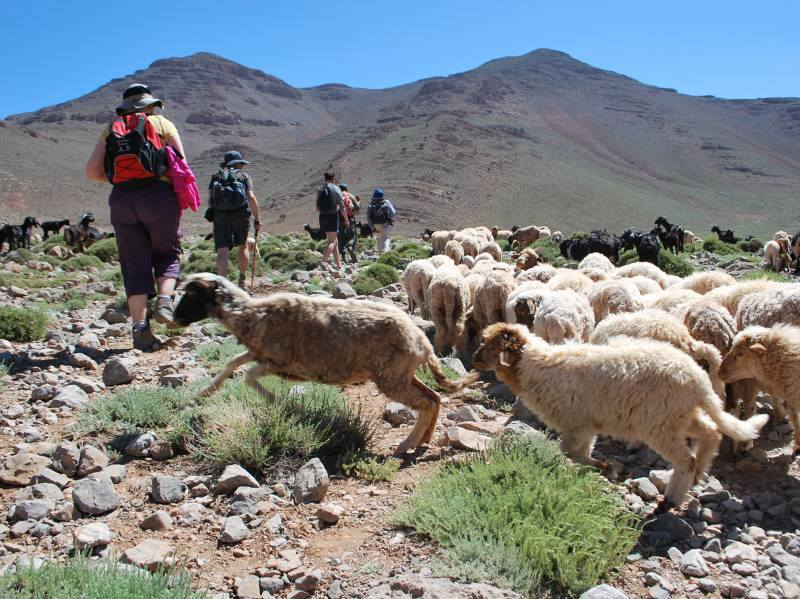 Hiking with Sheep in Morocco