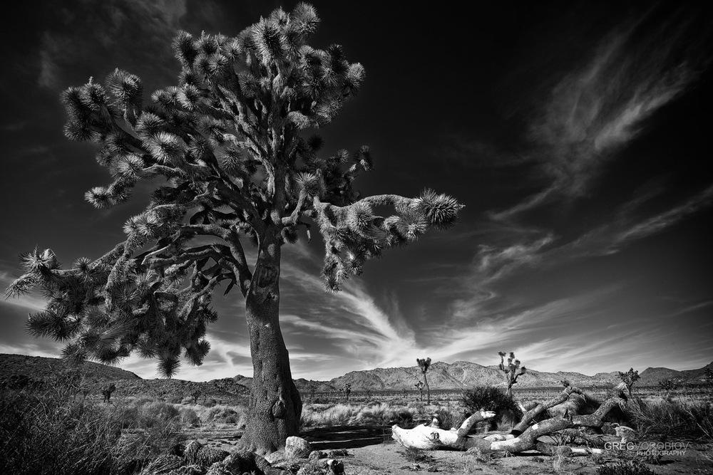 joshua_tree_by_greg_vorobiov-1-2.jpg