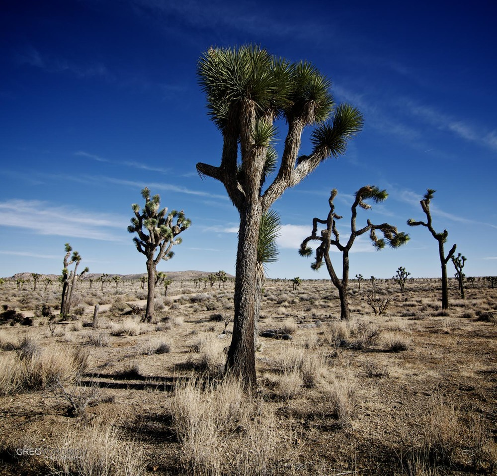 joshua_tree_by_greg_vorobiov-3.jpg