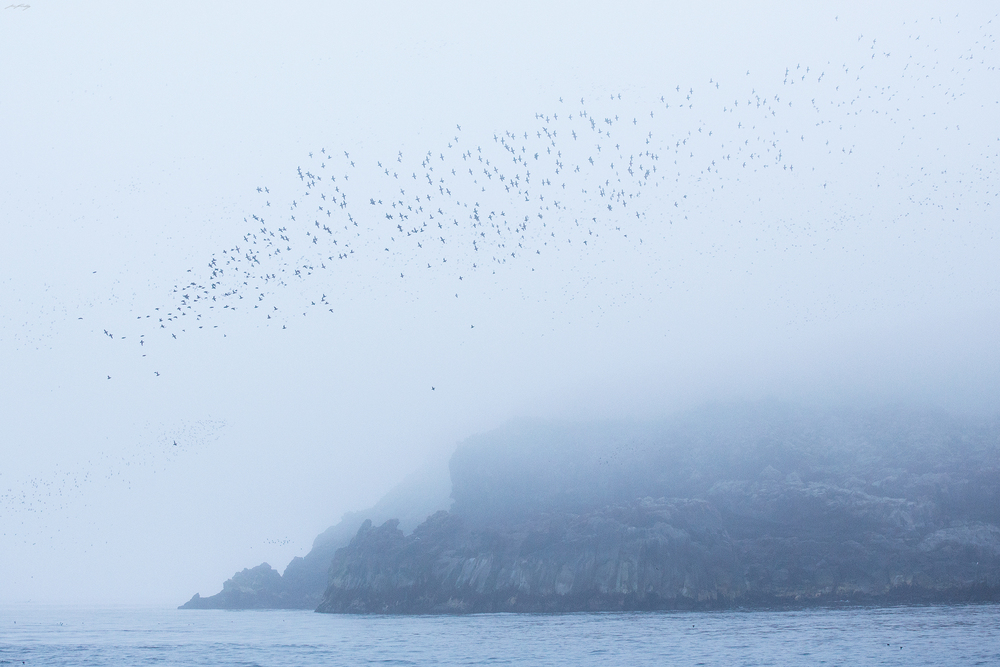 A massive flock, mostly consisting of Crested and Least Auklets lifts off a coastal rock formation on Kiska Island. Two explosive eruptions in the mid 1960's released large lava flows, the cooled rock of which is now occupied by millions of nesting seabirds each spring.