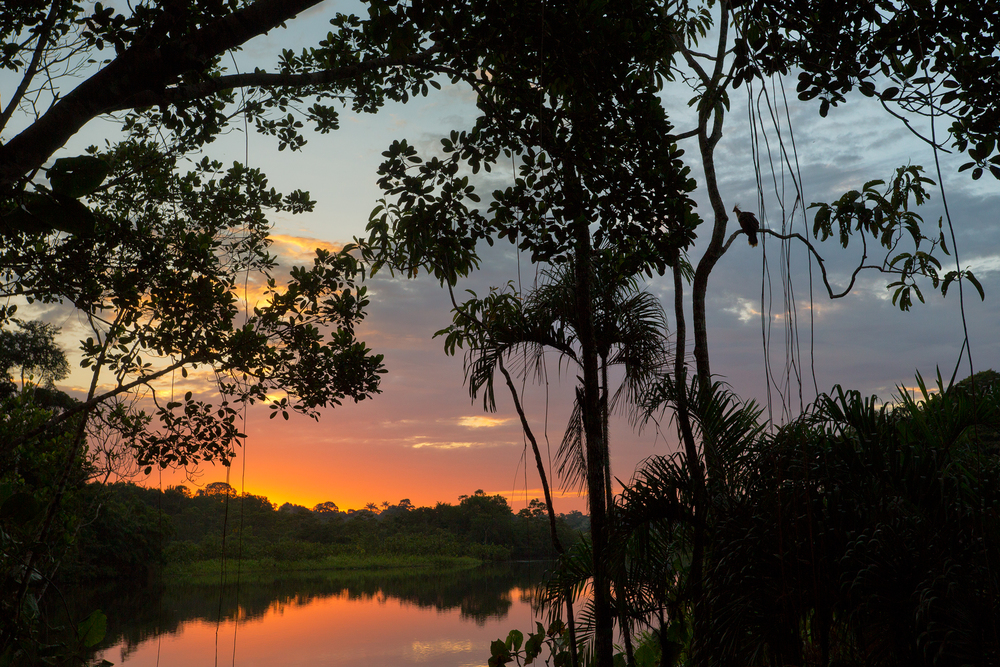Hoatzin Sunset
