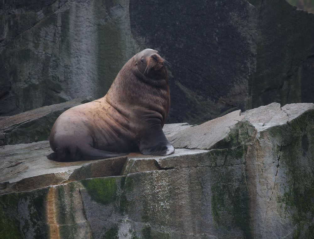 Steller Sea Lion, Alaska, USA