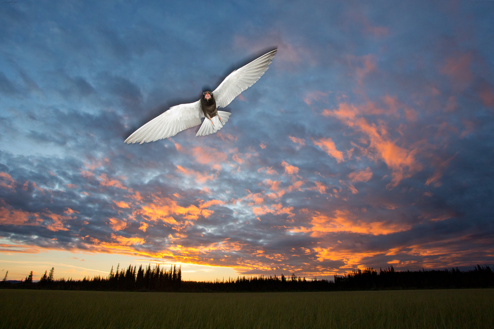 A Black Tern (Chlidonias niger) defending it's nesting territory in a marsh in the Cariboo Region of British Columbia, Canada.