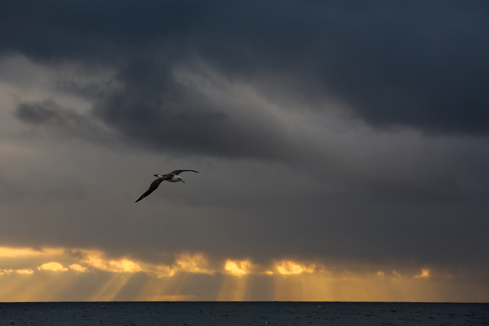 Crepuscular rays break through a dense bank of storm clouds as a Laysan Albatross (Phoebastria immutabilis) glides gracefully on it's enormous wings. Bering Sea, Alaska, USA.