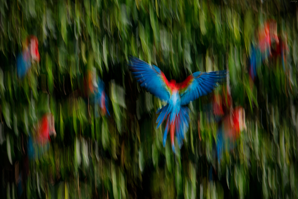 Red-and-Green Macaws, Peru