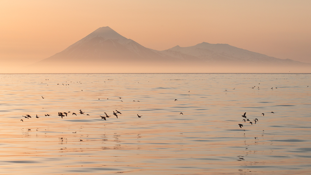 Mixed flocks of Least Auklets (Aethia pusilla) and Crested Auklets (Aethia cristatella) fly to their foraging grounds out at sea. In the distance, the peak of 1,800m Tanaga Volcano can be seen. Photographed on a calm morning in the Aleutian Islands of Alaska, USA.