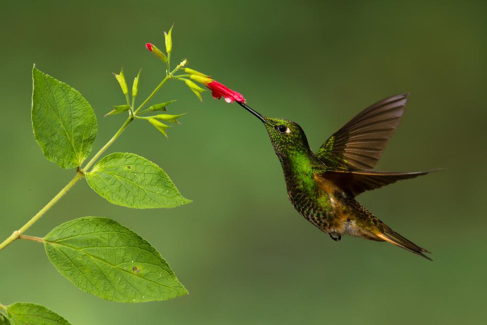 Rainforest Jewel